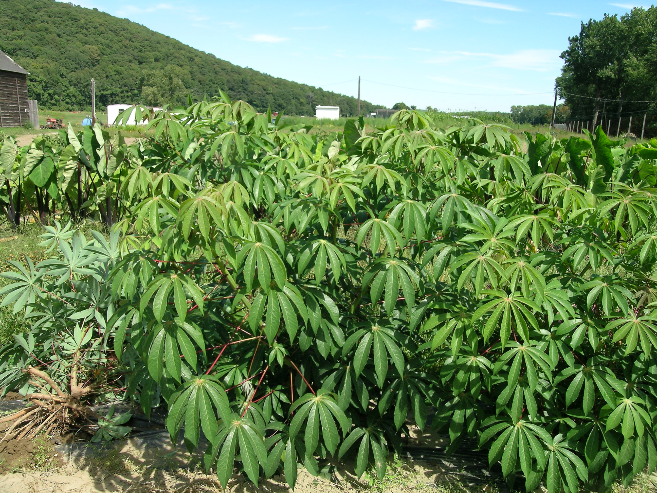 Cassava glut: Farmers, processors squabble over prices