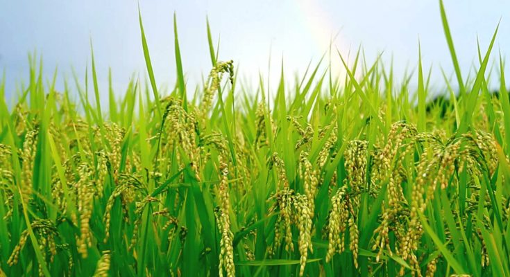 Nigeria To Produce 8 Million Tonnes a Of Rice In 2018 Wet Season