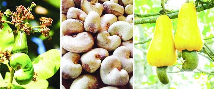 Forex earnings from cashew threatened