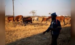 African cattle investing - the new cash cow?