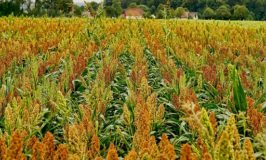 CBN, Keystone Bank empower sorghum farmers with input facilities to boost beverage industry