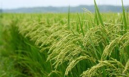 Massive Rice Farmers Ready for Dry Season Production