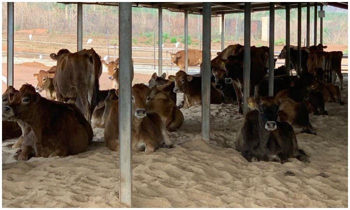 US supports Ekiti farm with pregnant cows