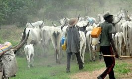 Despite Ban, Open Grazing Persists in Southern States